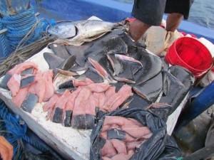 shark finning costa rica