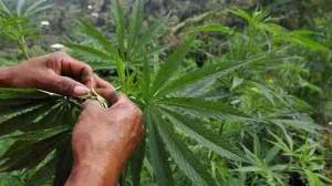 costa rica-marijuana