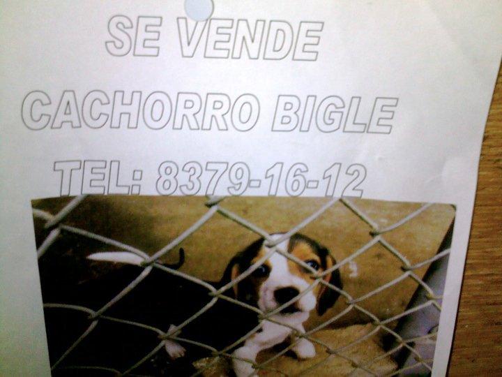 Costa Rica Beagle