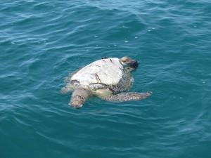 dead turtle costa rica