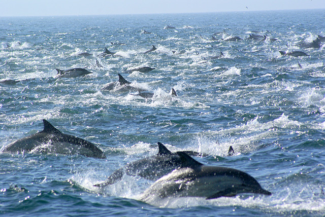 Mega pod of dolphins - photo#1