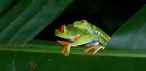 leaf frog costa rica 1