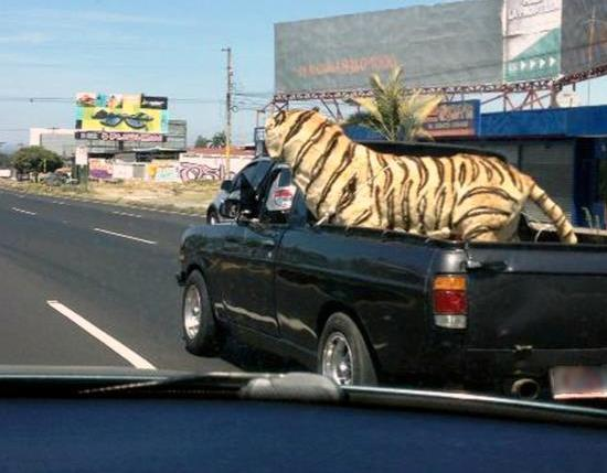 Costa Rica Does Have Tiger Pets