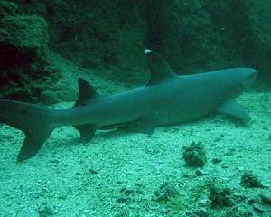 costa rica sharks 1