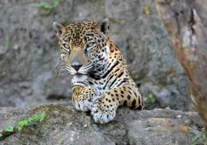 tortuguero costa rica jaguars