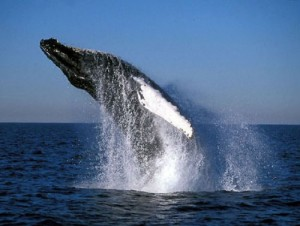 whale watching costa rica