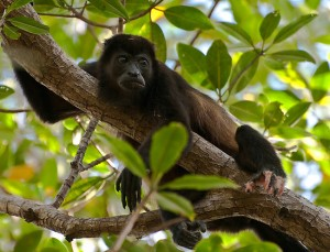 Mantled Howler Monkey Costa Rica