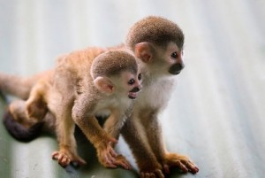 titi monkey costa rica