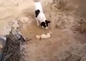 Dog Burying Puppy 1