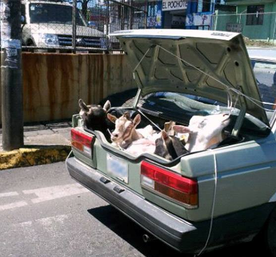 Using the Phrase I Have 3 Goats in my Truck.....Only in CR