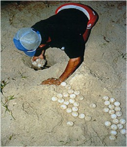 turtle egg poaching costa rica 1
