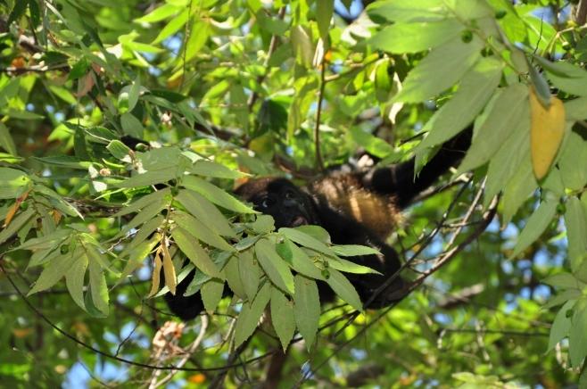 Mono Congo Cabuya Puntarenas Costa Rica JPG