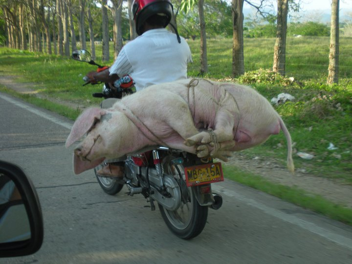 Now That is a Pig Delivery