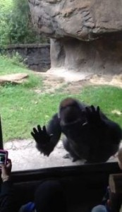 gorilla scares kids funny video