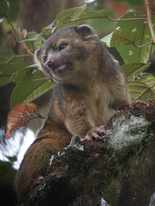 New-Mammal-Olinguito  pictures