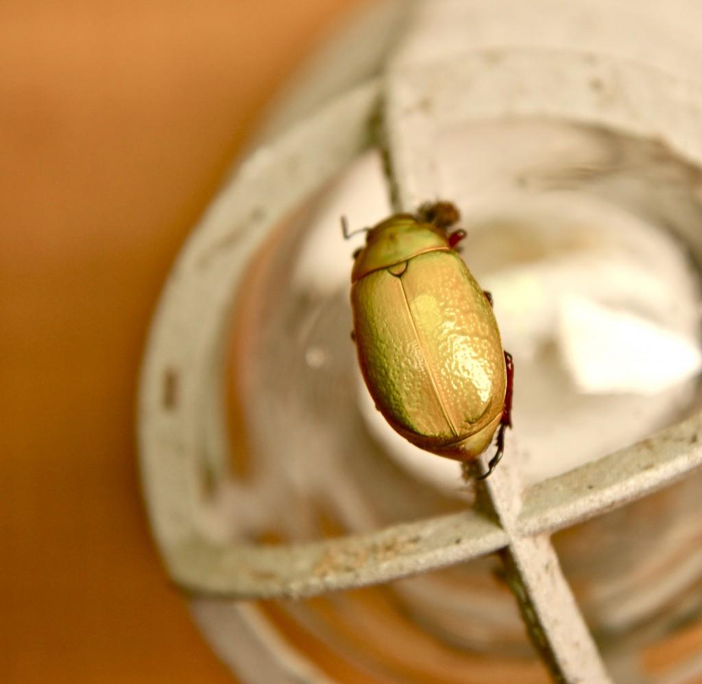 costa rica beetle 1