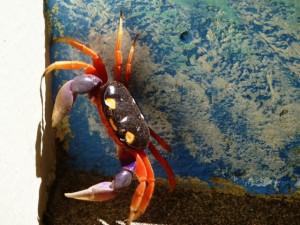 costa rica crab
