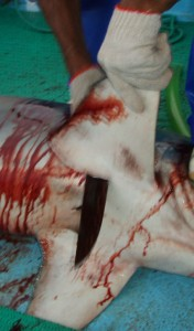 costa rica shark finning