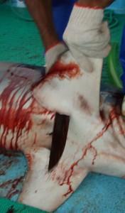 costa rica shark finning