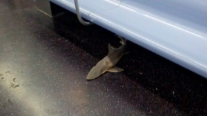 shark on subway in new york main