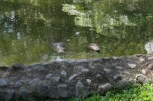 costa rica crocodiles