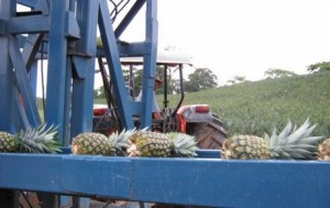 costa rica pineapple shortage 1