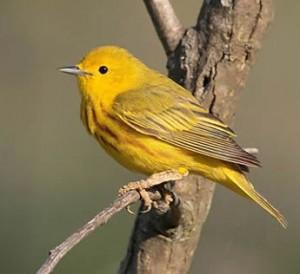 yellow warbler costa rica