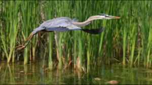 great blue heron main