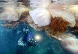 jellyfish population growth 1