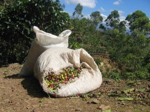 Coffee_harvested_costa_rica