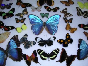 costa rica butterflies