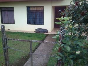 costa rica guard pig