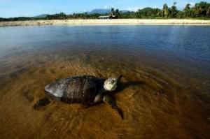 costa rica sea turtle deaths