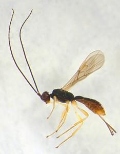 costa rica wasps