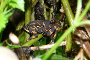halloween frog costa rica