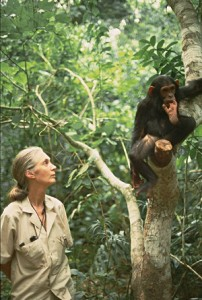 jane goodall chimpanzees 1
