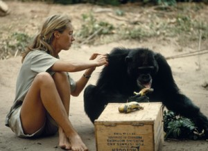 jane goodall chimpanzees