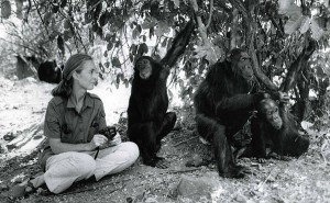 jane goodall chimpanzees main