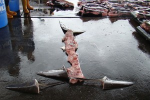 shark fin-costa-rica 1