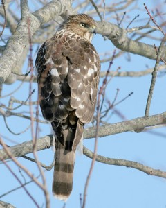 speckle-winged hawk 1