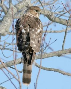 speckle-winged hawk 1
