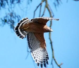 speckle-winged hawk