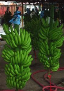 Costa_Rican_banana_problem