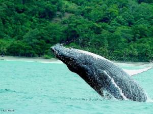 humpback-osa