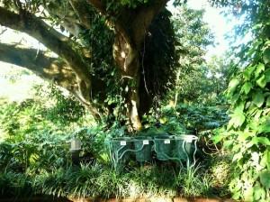 2013-12-24-costaricafincarosablancatree-thumb