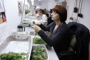 colorado legal pot industry