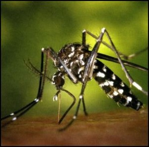 dengue mosquito 1