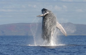 humpback whales costa rica