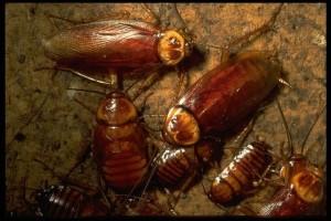 cockroach corey
