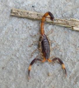 costa rica scorpions